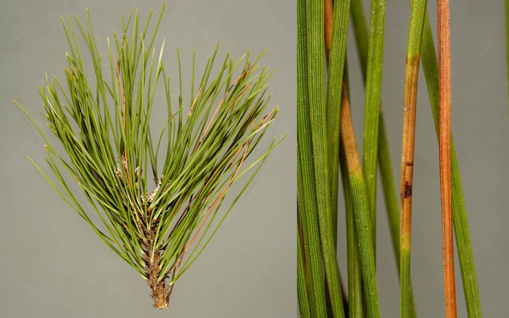 Symptoms of red band needle blight